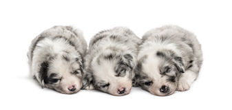 Group of crossbreed puppies sleeping isolated on white. Group of crossbreed puppies sleeping in a row isolated on white Royalty Free Stock Images