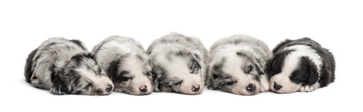 Group of crossbreed puppies sleeping isolated on white. Group of crossbreed puppies sleeping in a row isolated on white Royalty Free Stock Image