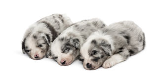 Group of crossbreed puppies sleeping isolated on white. Group of crossbreed puppies sleeping in a row isolated on white Stock Images