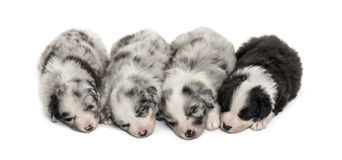 Group of crossbreed puppies sleeping isolated on white. Group of crossbreed puppies sleeping in a row isolated on white Royalty Free Stock Photos