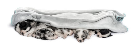 Group of crossbreed puppies in a towel isolated on white Royalty Free Stock Photography