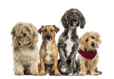 Group of Crossbreed royalty free stock image