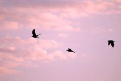 Group of crows against a pink sky Stock Photography