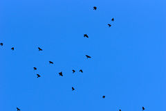 Group of crows flying against a deep blue sky Stock Image
