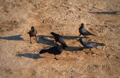Group Of Crows Searching For Food In The Sand Near The Beach. stock photo