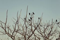 Group of crows sitting on the bare branches of a tree Stock Photography