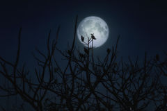 Group of crows sitting on a branch against a full moon Royalty Free Stock Images