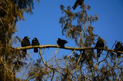 Crows on a thuja tree branch Royalty Free Stock Photography