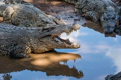 Group of Cuban Crocodiles ( crocodylus rhombifer). Royalty Free Stock Photography