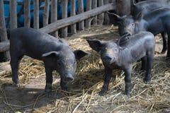 Group Cute baby black pig in pigpen. Stock Photo