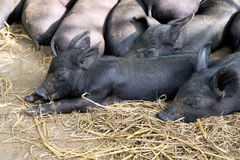 Group Cute baby black pig sleeping in pigpen. Stock Photos