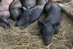Group Cute baby black pig sleeping in pigpen. Stock Photography