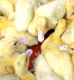 Group of cute baby ducklings Royalty Free Stock Image