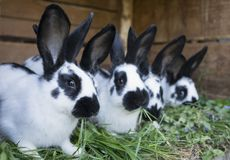 A group cute black and white rabbits. With spots stock photo