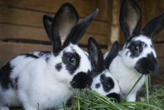 Group cute black and white rabbits with spots. A group cute black and white rabbits with spots Stock Image