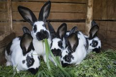 Group cute black and white rabbits with spots. A group cute black and white rabbits with spots Royalty Free Stock Images