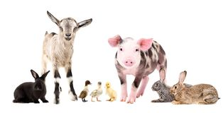 Group of cute farm animals. Standing together, isolated on white background stock image