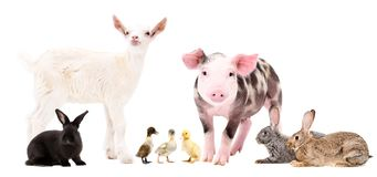 Group of cute farm animals. Standing isolated on white background stock photography