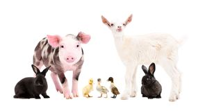Group of cute farm animals  together. Isolated on white background stock image
