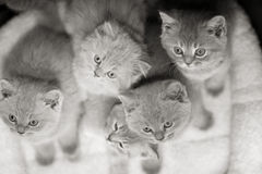 Group of cute gray British kittens Stock Photography