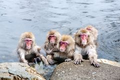 Group of cute japanese snow monkeys sitting in a hot spring. Nagano Prefecture, Japan stock photography