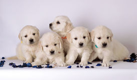 Group of cute labrador puppies stock photography