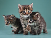 Group of cute little kittens. Studio shot royalty free stock photo
