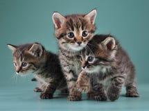 Group of cute little kittens. Studio shot royalty free stock photo