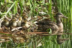 A group of cute Mallard duckling Anas platyrhynchos resting in the reeds at the side of a stream with their mother in the water. A family of cute Mallard Stock Photos