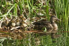 A group of cute Mallard duckling Anas platyrhynchos resting in the reeds at the side of a stream with their mother in the water. A group of sweet Mallard Royalty Free Stock Image