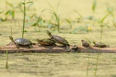 Group of cute painted turtles lined up straight on a log surrounded by water that is soft green with plant seeds and algae - taken royalty free stock photos