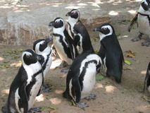 Group of cute penguins in zoo. Group of cute penguins in  stroling in zoo. Israel Royalty Free Stock Images