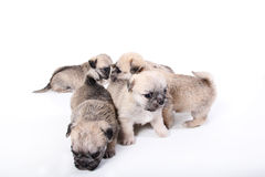 Group of cute puppies. Shot of a group of cute puppies on white background Royalty Free Stock Photos