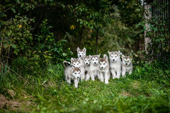 Group of cute puppy alaskan malamute run on grass garden Royalty Free Stock Images