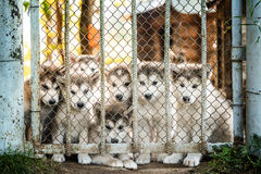 Group of cute puppy alaskan malamute behind fence. Group of cute puppy of alaskan malamute run outdoor on grass in garden at sunset near doghouse box Stock Photography