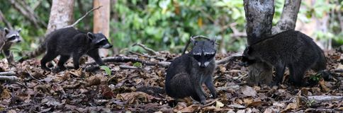 Group of cute raccoon in the jungle of Costa Rica waiting for food. Wild cute raccoon in the jungle of Costa Rica waiting for food showing teeth Stock Photo