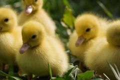 Group of cute yellow fluffy ducklings in springtime green grass, animal family concept stock photography