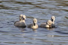 Group of Cygnets stock image