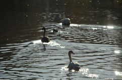 Group of cygnets, young swans swimming in the water in a lake royalty free stock photo
