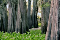 Group of Cypress Trees in the Atchafalaya Swamp. royalty free stock image