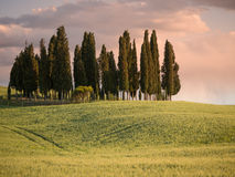 Group of cypress trees at dusk with the sky turning pink Stock Images