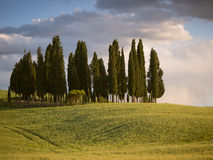 Group of cypress trees at dusk Stock Photo