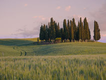 Group of cypress trees at sunset Royalty Free Stock Image