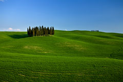 Group of cypress trees in the tuscany Royalty Free Stock Photography