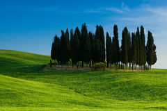 Group of cypresses Stock Photography