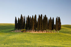 Group of cypresses in Tuscany Stock Images