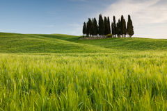 Group of cypresses in Tuscany Royalty Free Stock Image
