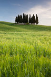 Group of cypresses in Tuscany Stock Photos
