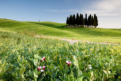 Group of cypresses in Tuscany Royalty Free Stock Photo