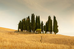 Group of cypresses in Tuscany Royalty Free Stock Photography
